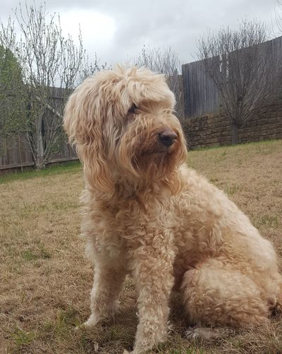 Labradoodle Pets Dog Yard Day Sky Outdoors No People