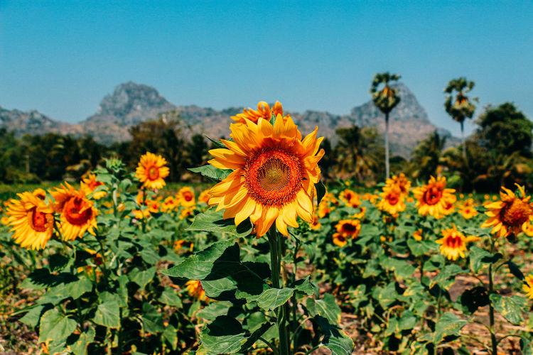Close-up of sunflowers against orange sky