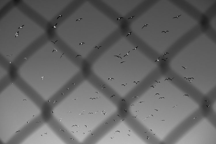 Fences dont matter Animal Themes Backgrounds Close-up Day Fence Flying Freedom Fresh On Eyeem  FUJIFILM X-T2 Full Frame Lachmöwe Large Group Of Objects Nature No People Outdoors Pattern Sky Water Resist The Photojournalist - 2017 EyeEm Awards Perspectives On Nature