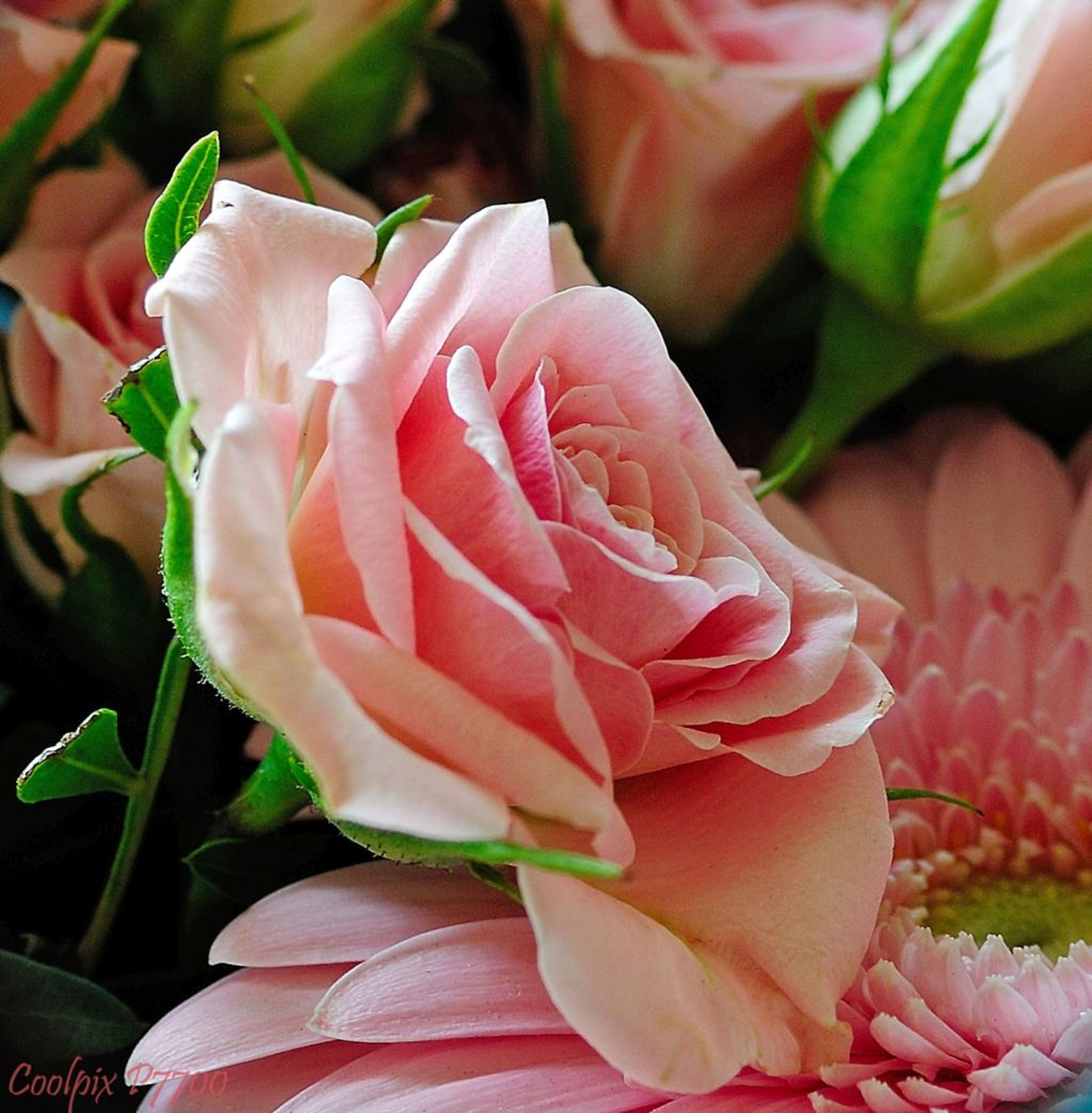 flower, petal, freshness, flower head, fragility, rose - flower, beauty in nature, close-up, growth, nature, rose, plant, blooming, pink color, focus on foreground, indoors, leaf, in bloom, blossom, single flower