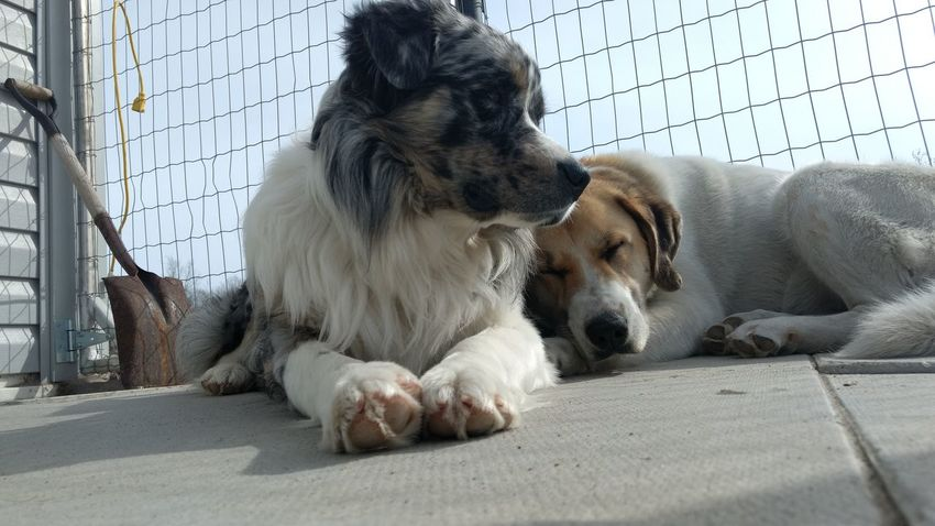 Mammal Animal Themes Dog Pets No People Domestic Animals Day Outdoors Togetherness Sunlight Australian Shepherd  Big Dogs Sleep