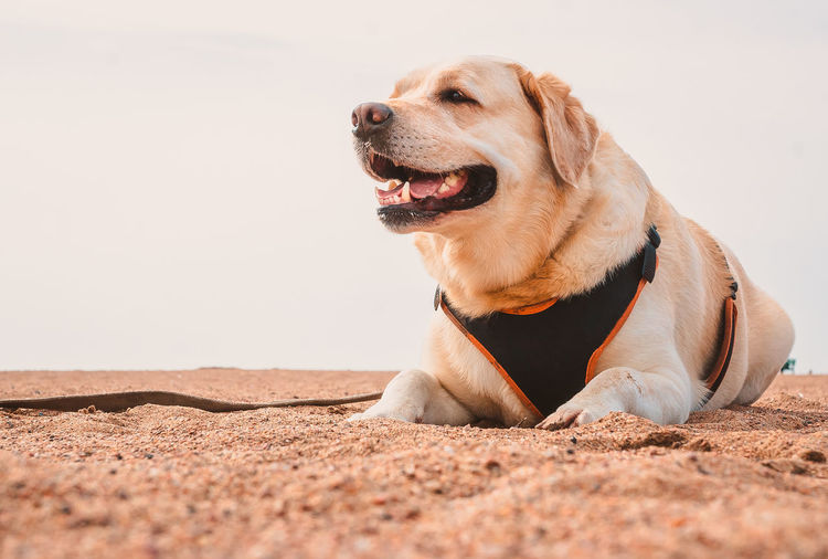 Happy labrador retriever lies on the sand and smiles. the dog's journey to the sea