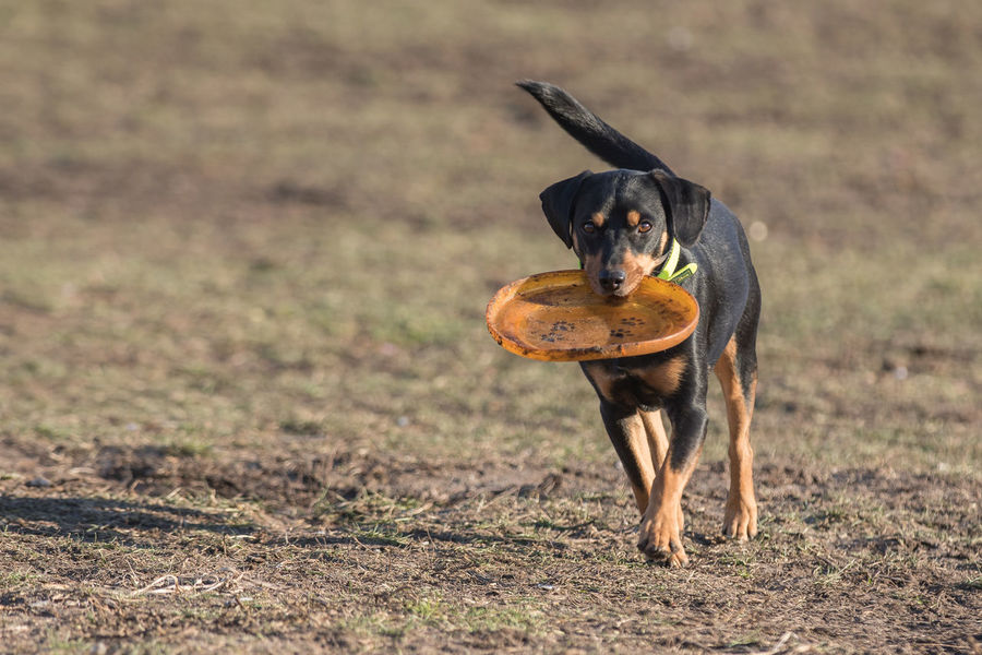 Animal Themes Apportieren Day Domestic Animals Frisbee Mammal No People One Animal Outdoors Pets Playing Playing Dog Rudimental