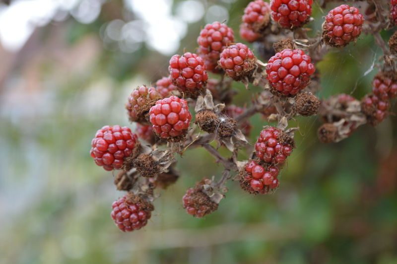 Berries Berries On A Branch RedBerry  RedBerryMoments Berries Collection Berry Berry Fruit Berrys Redberries