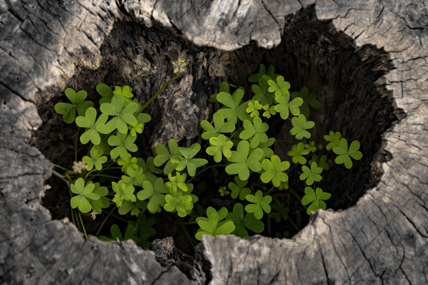 Clover Growth Happiness Shamrock Trefoil Wood Beauty In Nature Cloverleaf Clovers  Green Color Growth Growth In Nature Growth Nature Close-up Growth Process Happiness ♡ Nature Plant Shamrocks Tree Wood - Material