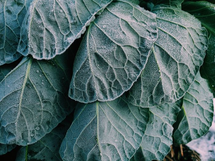 Leaf Green Color Full Frame No People Growth Close-up Outdoors Nature Backgrounds Food Day Freshness Winter Leaf Vein Veins In Leaves Textured  Fine Art Photography Texture Cold Temperature Wallpaper Growth Garden Photography Agriculture Agricultural Agriculture Photography