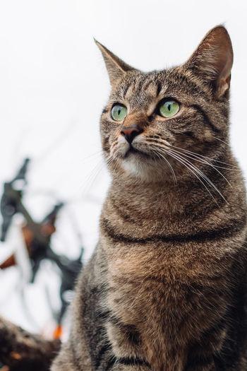 Tabby cat against a white sky