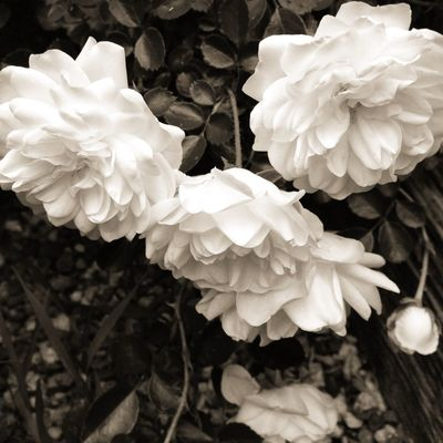 Three White Roses Dreaming Archetype Secret Garden My Love Chasing The Muse