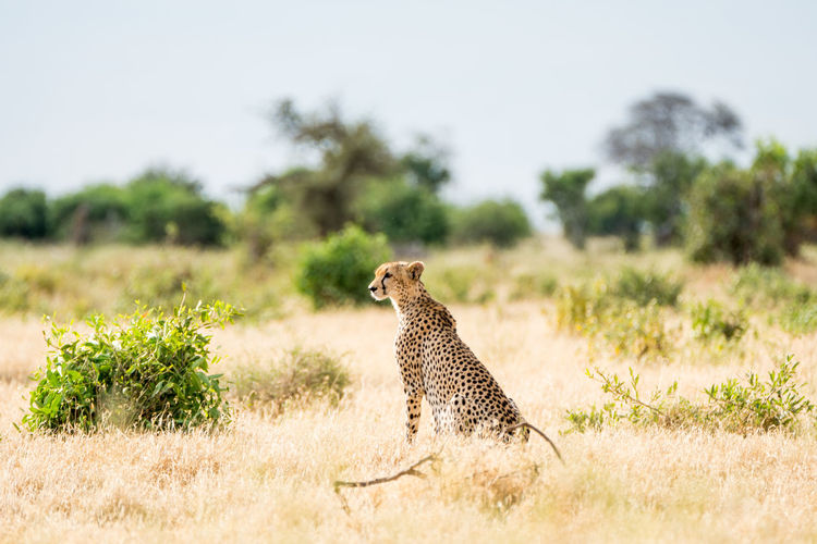 Side View Of Cheetah Sitting On Grassy Field Against Clear Sky
