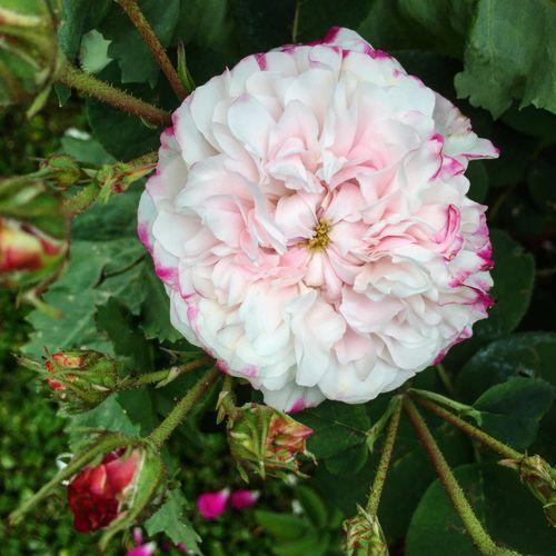 Beauty In Nature Rosa Damascena Leda Fragrant Flowers