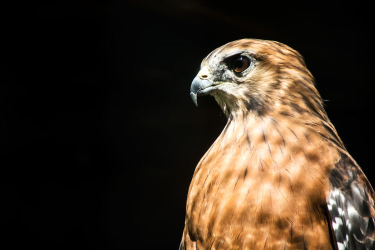 Close-Up Of Bird Of Prey