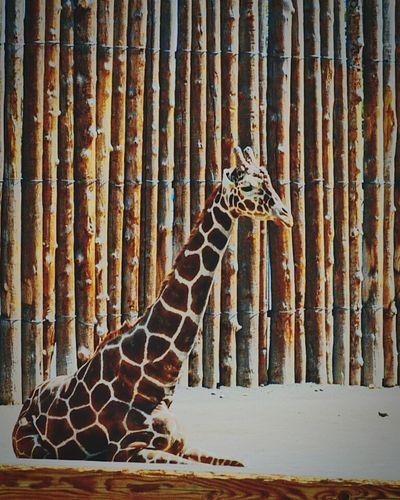 Hello World Zoophotography Zoo Animals  Abqphotos Giraffe