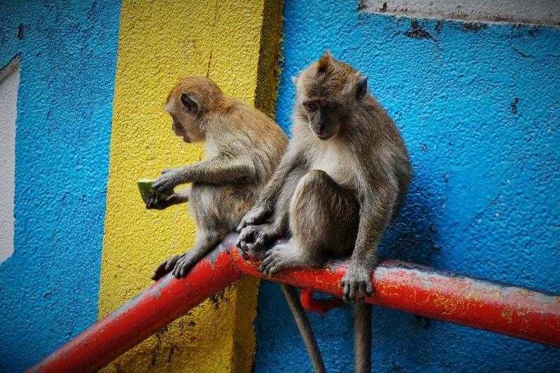 Monkey Malaysia Colorfull