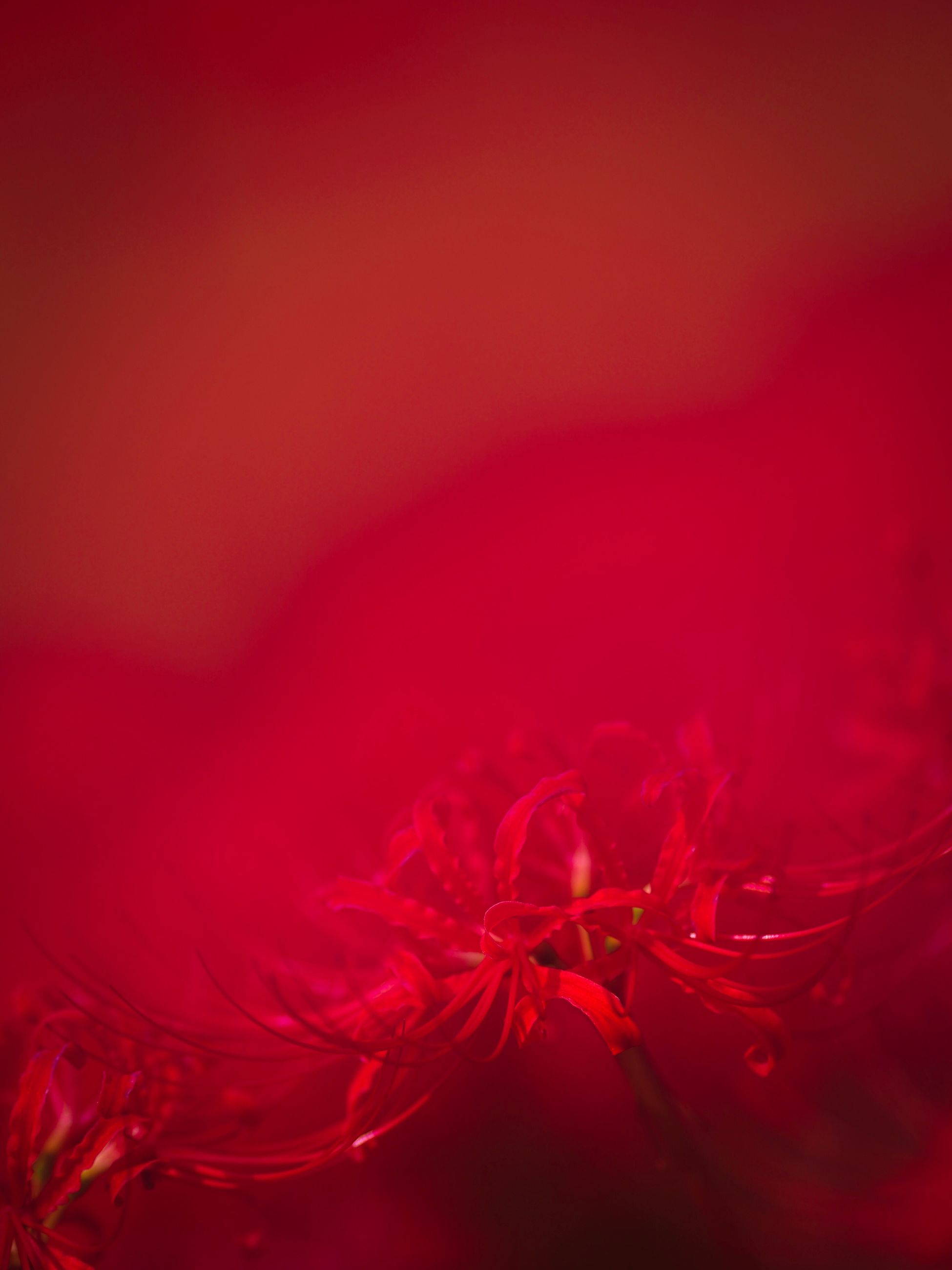 red, close-up, no people, petal, studio shot, water, beauty in nature, nature, indoors, fragility, flower head, freshness, day