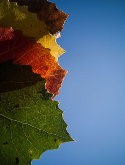 Close-up of autumn leaves against clear blue sky