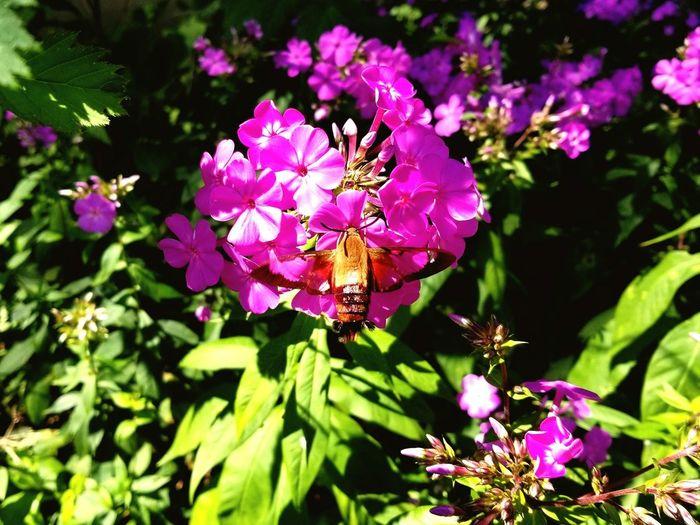 Hummingbird moth Hummingbird Moth Moth Flower Flower Head Pink Color Leaf Purple Close-up Plant Flowering Plant Blossom In Bloom Blooming