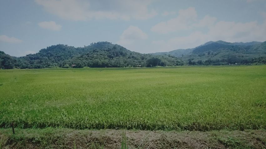 Rice fields Rural Scene Tree Cereal Plant Grass Agricultural Field