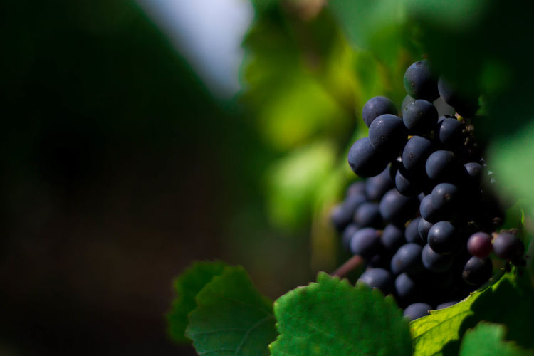 Close-Up Of Grapes Growing On Plant At Vineyard