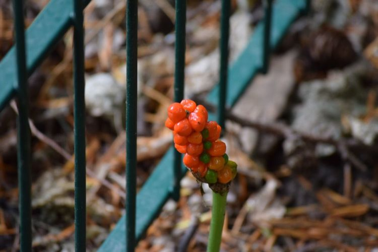 EyeEm Selects Aronstab / Common arum Focus On Foreground Day Red Growth Outdoors Fruit No People Freshness Nature Close-up Beauty In Nature Aronstab Common Arum Bloom Blossom