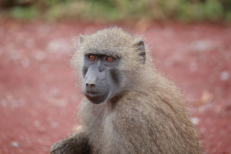 An olive baboon up close