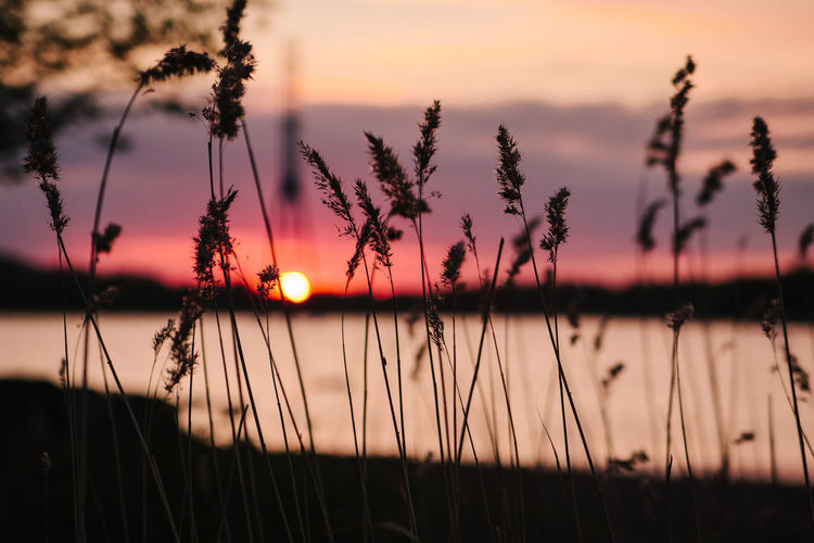 Beach reeds and sunset Beauty In Nature Evening Nature No People Outdoors Reeds Sea Silhouette Sky Summer Sun Sunset Tranquility Water