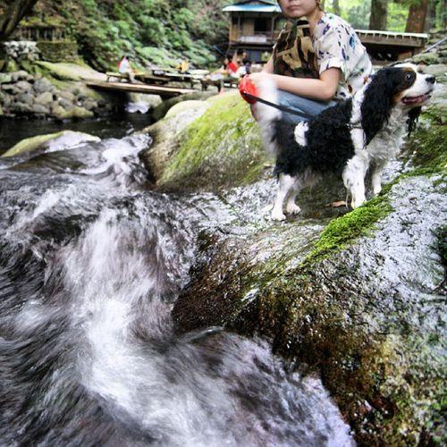Silent Torrent Water Dog Japan Torrent Cavalier  NASU Cavalierkingcharlesspaniel Tochigi Kotarogafuch