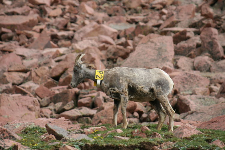 Side view of goat standing on rocky field