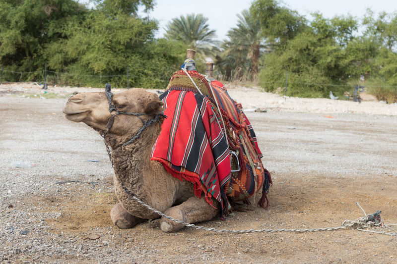 Decoratively decorated camel with a blanket resting lying waiting for visitors Bedouin Business Desert East Exotic Mediterranean  NOMAD Palestine Rider Transportation Travel Trip Adventure Animal Arab Camel Culture Day Decorated Israel Symbol Tourism Traditional Vacation Visitor
