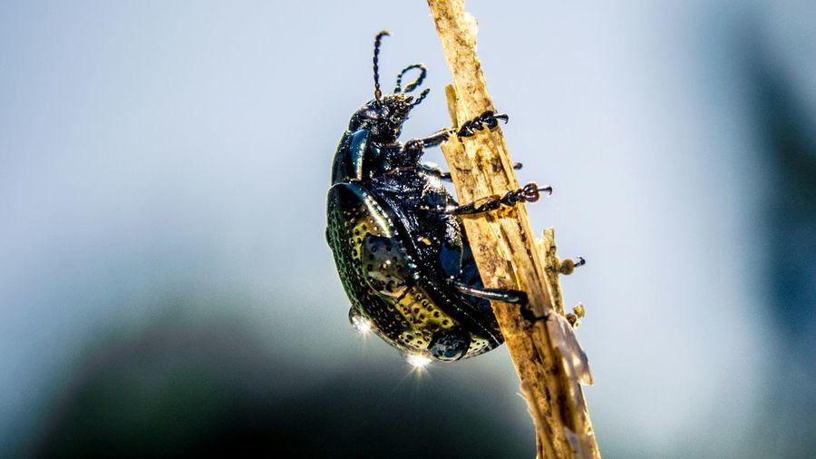 Check This Out Nature Drops Like Macro Photography Macro Macro_collection Macro Beauty Beetle Showcase April Macroporn Bugs Bugslife Nikon D5200 Beetle Insect Nature Beetle Bug Colours Of Life