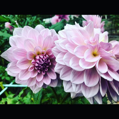 Flowers Nature EyeEm Nature Lover Beautiful Stunning Taking Photos Japan Tokyo Gorgeous Dahlia