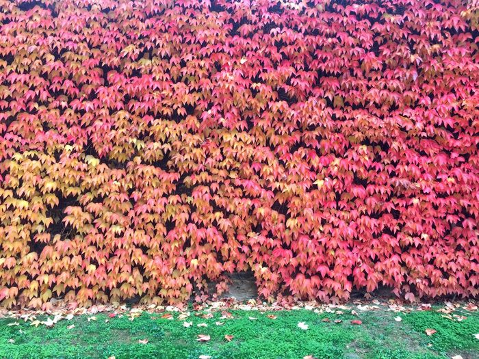 Autumn Colors Herbst Autumn Automne Nature No People Outdoors Plant Vigne Vierge Beauty In Nature Colors Wall Vegetal Wall Beautifully Organized