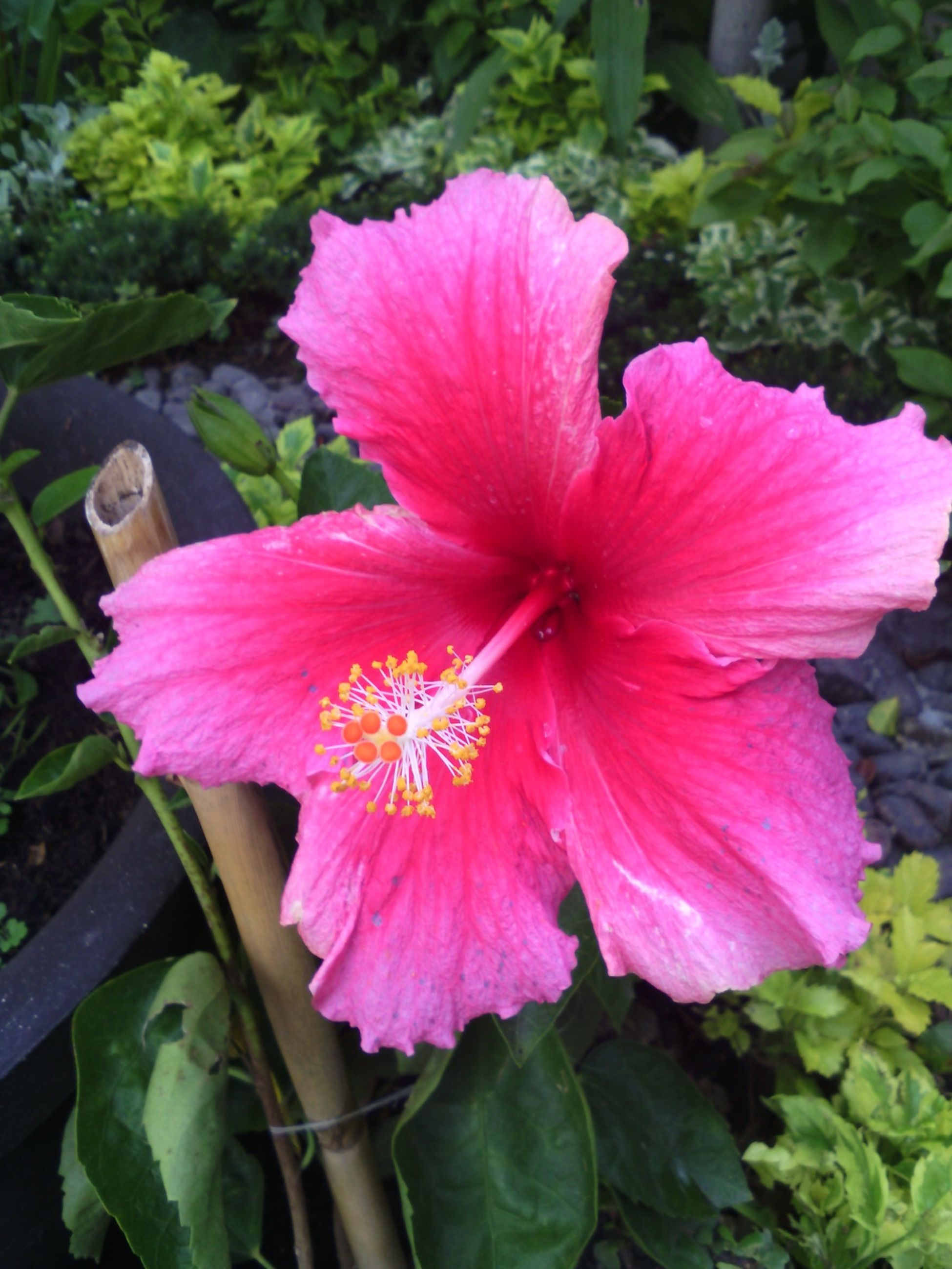 flower, petal, freshness, flower head, fragility, growth, beauty in nature, pink color, blooming, close-up, plant, nature, single flower, hibiscus, leaf, focus on foreground, stamen, pollen, in bloom, high angle view