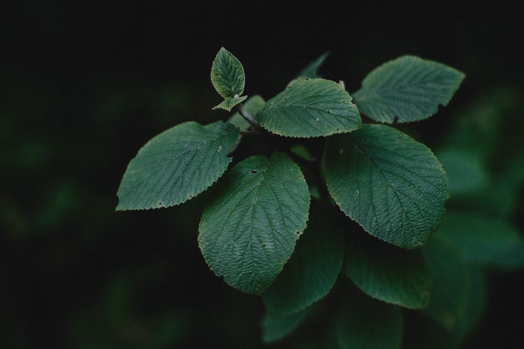 Close-up of green leaves on plant at night