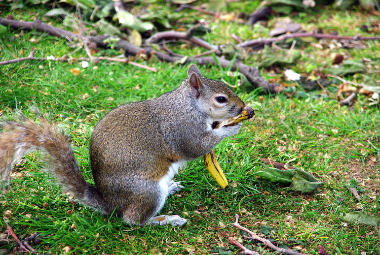 Squirrel eating grass