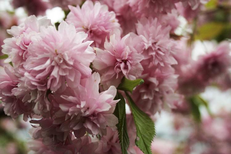 Close-up Flower Flowers Freshness Green Japanese Garden Nature Park Petal Pink Spring