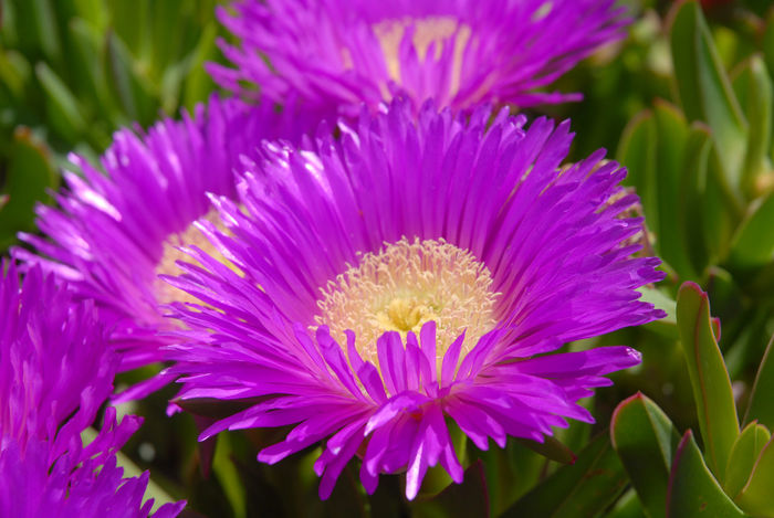 Carpobrotus, also known as Pig face Beauty In Nature Blooming Carpobrotus Close-up Day Flower Flower Head Fragility Freshness Growth Nature No People Outdoors Petal Pig Face Pink Color Plant Pollen Purple