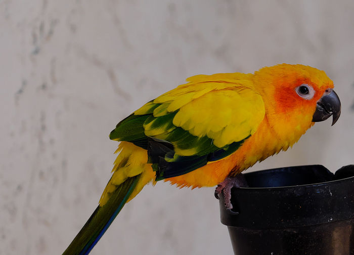 Animal Themes Animal Wildlife Animals In The Wild Bird Close-up Day Nature No People One Animal Outdoors Parrot Parrot Mountain Perching Yellow