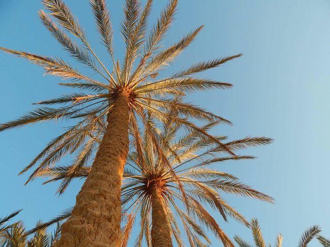 Palm Tree Nature Low Angle View Tree Sky Egypt Siwa Oasis