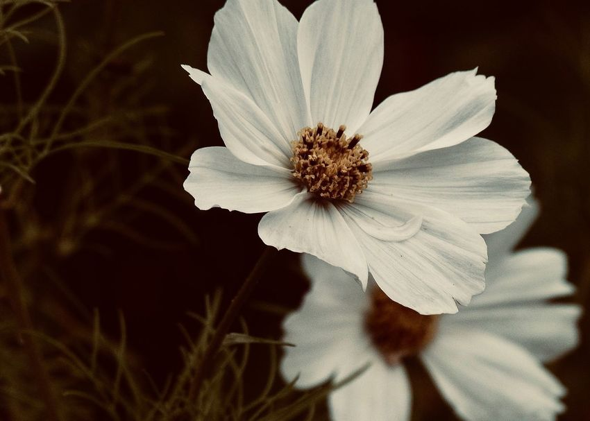 White Winter Anemone Flowering Plant Flower Fragility Freshness Vulnerability  Plant Petal Flower Head Beauty In Nature Inflorescence Growth Close-up Pollen Focus On Foreground Selective Focus White Color Outdoors Nature Anemone Cosmos Flower Copy Space Backgrounds Brown Winter Adore