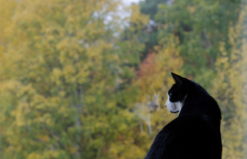 Cats Cat Window Reflections At The Window Autumn Leaves Looking Out Of The Window Animal_collection Feline Catback Autumn Colors Autumn Autumn Collection Tuxedocat