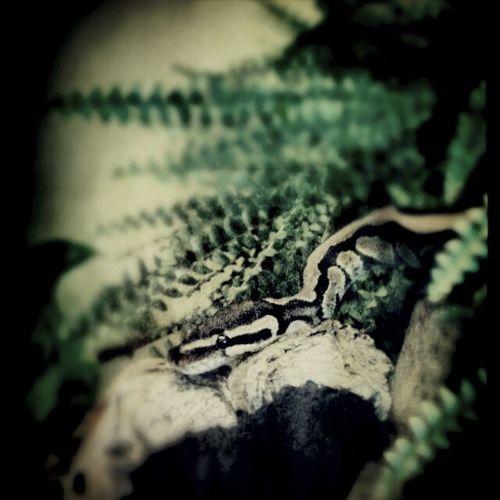 Snake Kungspyton So Adorable Inner Strenght