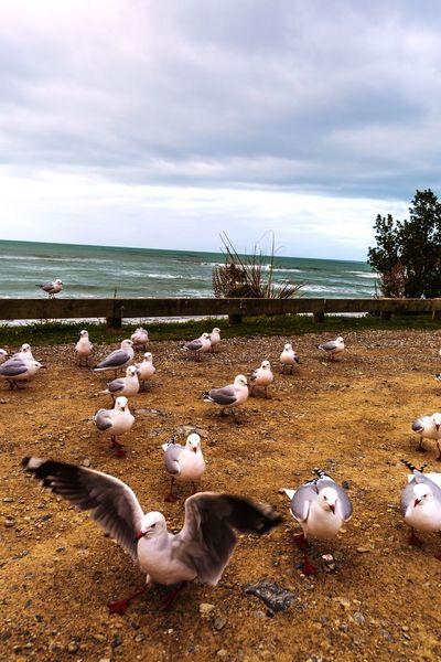 鸽子 Pigeons Seaside Newzealand Feeding The Birds Cloudy Sky Roadtrip
