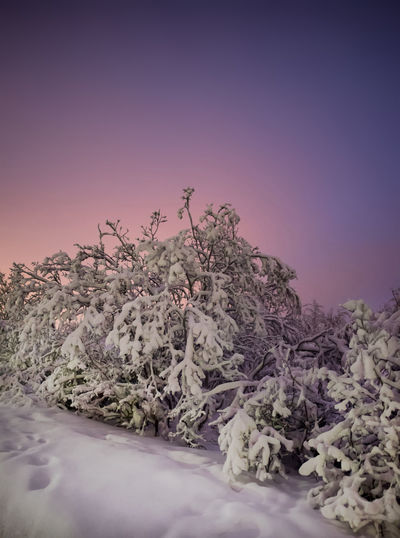 Snow covered trees under purple sky at dusk Plant Tree Nature Beauty In Nature Sky Tranquility Tranquil Scene No People Scenics - Nature Environment Landscape Purple Pink Color Outdoors Non-urban Scene Dusk Winter Snow Copy Space Idyllic Russian Winter