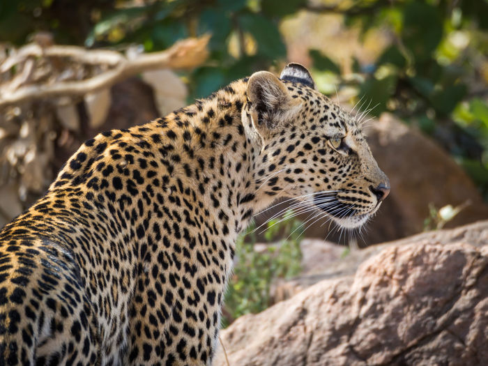 Close-up of a leopard looking away