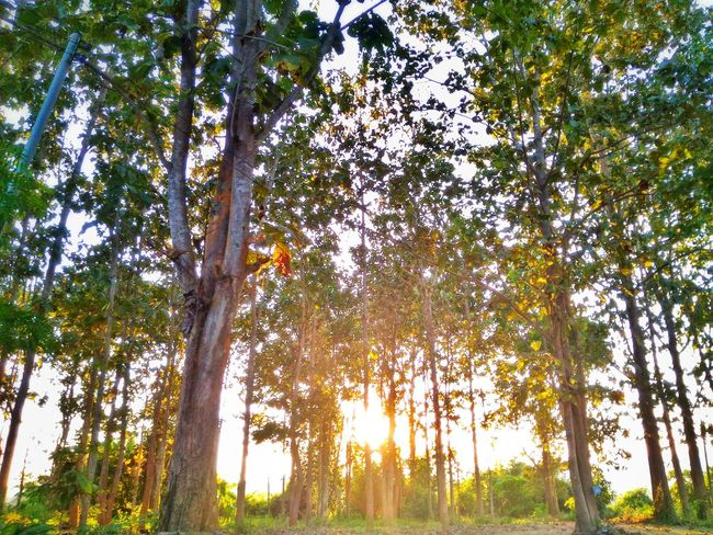 Beauty In Nature Day Forest Grass Green Color Growth Idyllic Landscape Lens Flare Low Angle View Nature No People Non-urban Scene Outdoors Scenics Sky Sun Sunbeam Sunlight Sunny Tranquil Scene Tranquility Tree Tree Trunk WoodLand