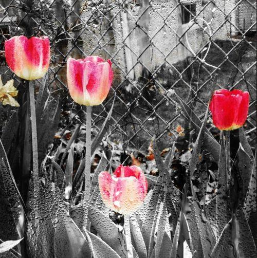 Tulips First Eyeem Photo Tulips, Flowers, Garden