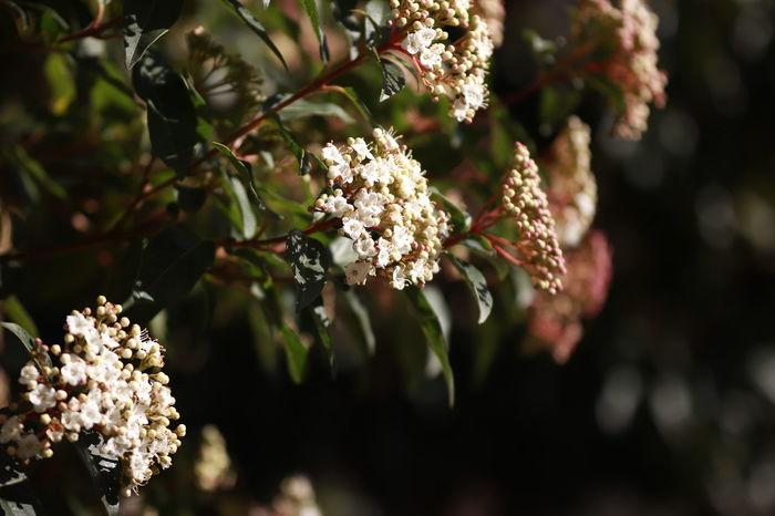 Meyer Optik Trioplan 50mm F2.9 Blooming Bokeh Bokeh Effect Macro Flower Spring Blooms Spring Blossoms Viburnum Thinus Viburnum Thinus Flowers White Flowers EyeEmNewHere