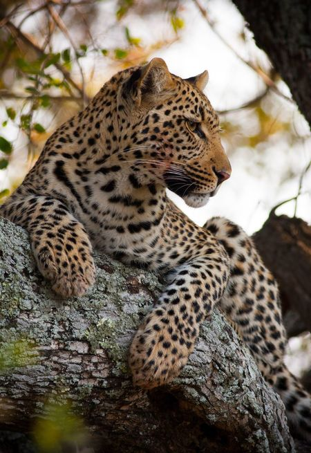 Ngala Young Leopard Tree Whiskers South Africa My Best Photo 2015