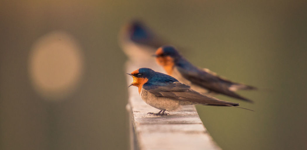 Close-up of welcome swallows perching on railing