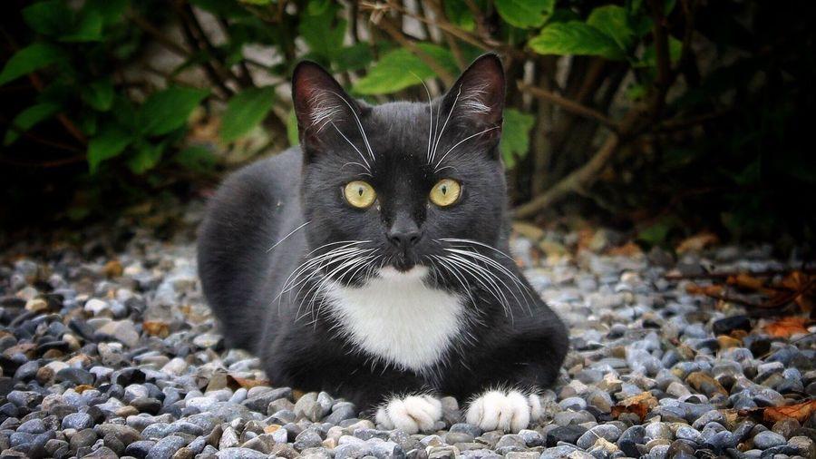 Pet Portraits Fleur Domestic Cat